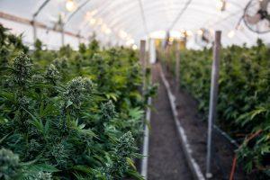 Marijuana plants growing in greenhouse
