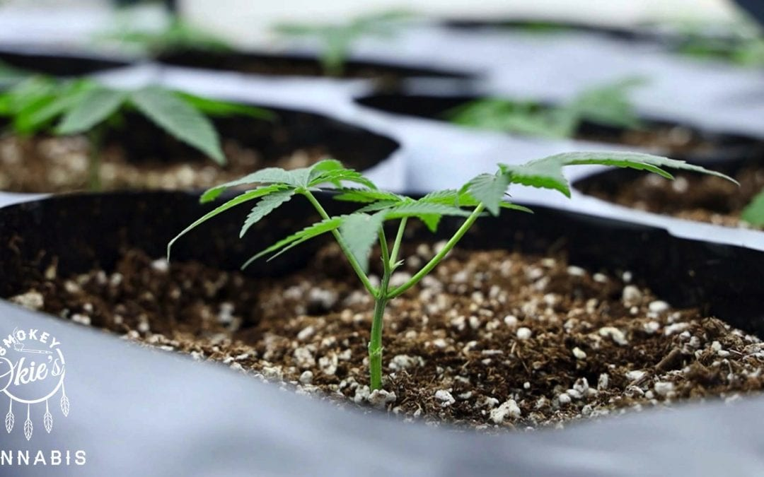 What is the Vegetative Stage of Marijuana Growth?