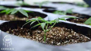 Baby marijuana plant