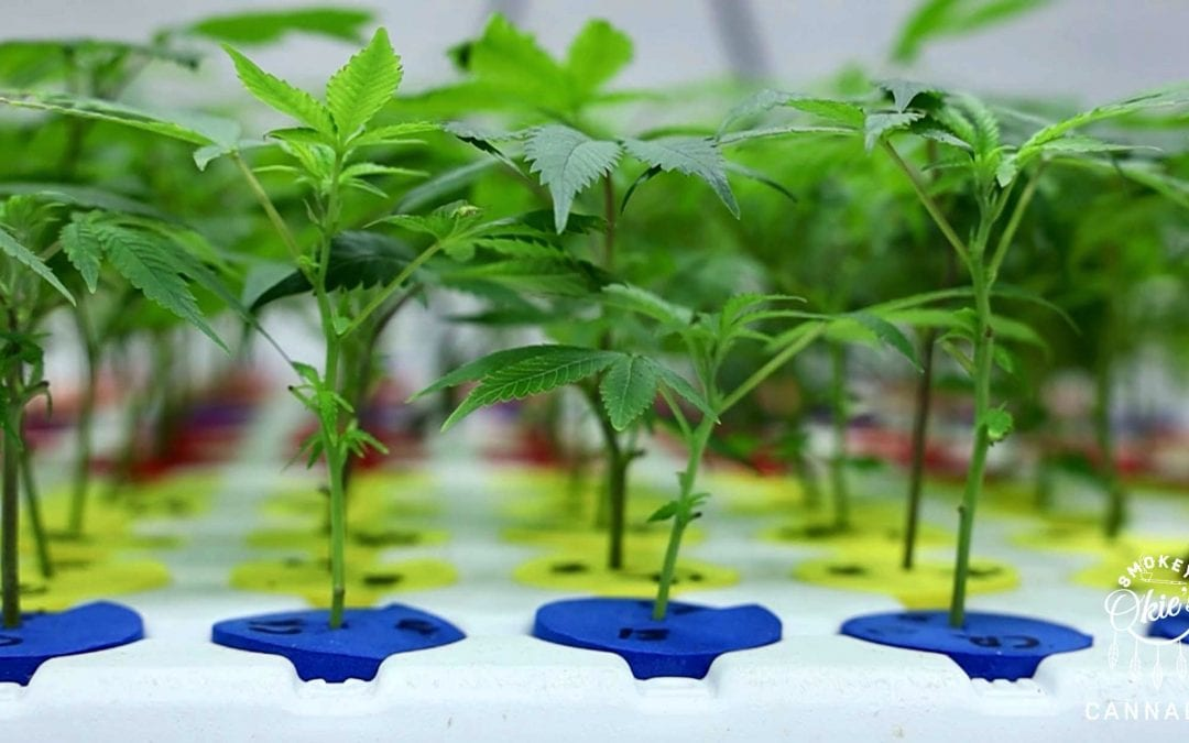 Cannabis Grow Time for the Vegetative Stage